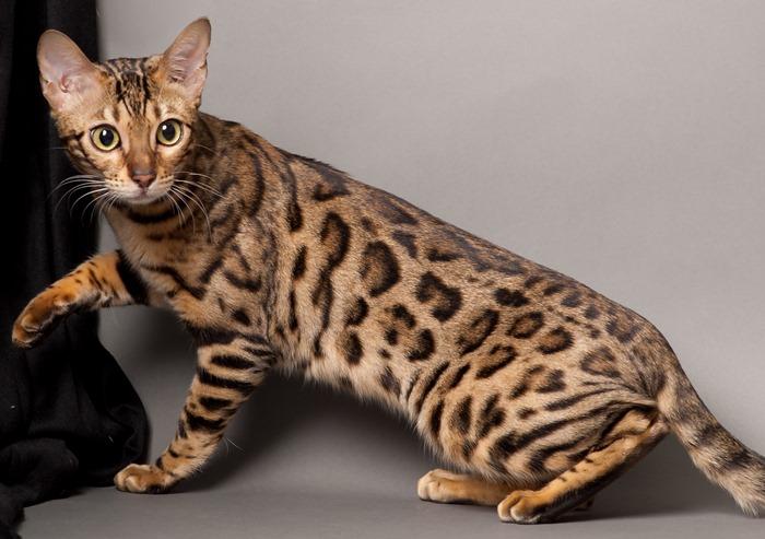 Kucing Bengal