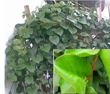 How to Make Herb Leaves Binahong To Heart