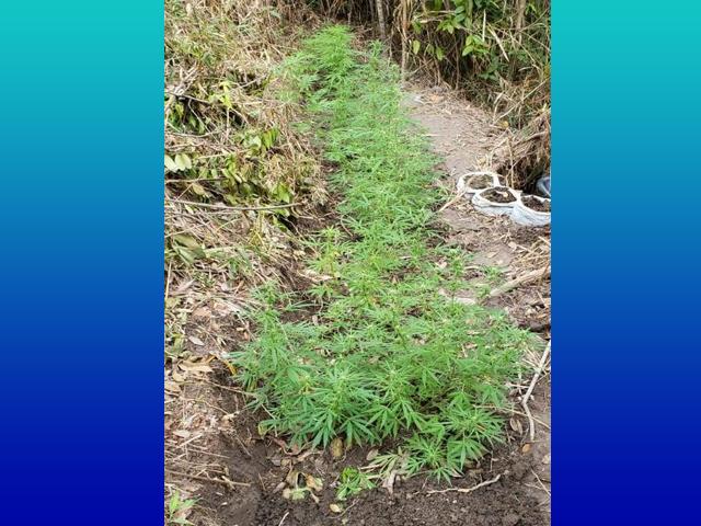 Polícia Militar descobre plantação de maconha na zona rural de Ibicoara