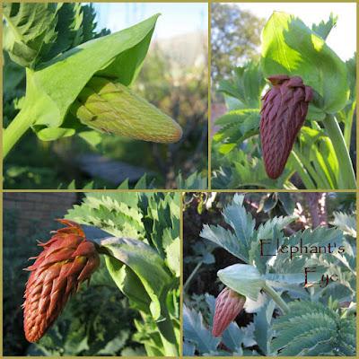 Melianthus major buds in August