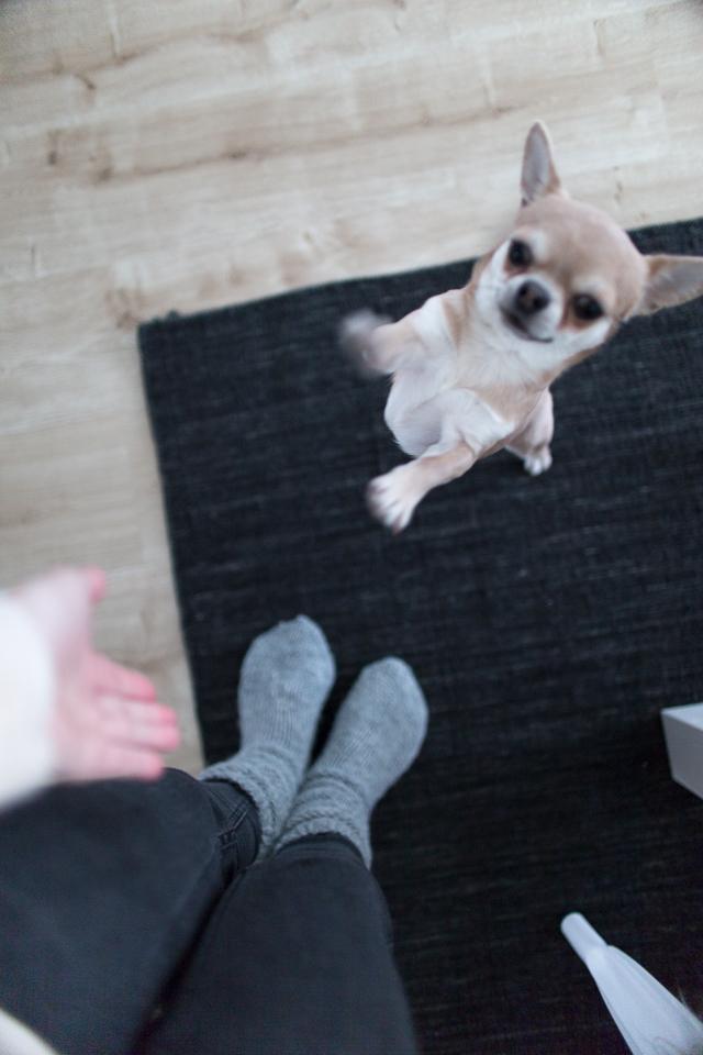 chihuahua, koirat, koiran elämää