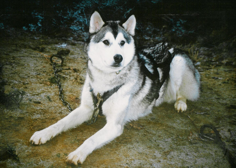 Siberian Husky : Mating a female Siberian Husky - photo#5