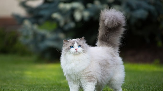 Persian Cat Blue Eyes Wallpaper