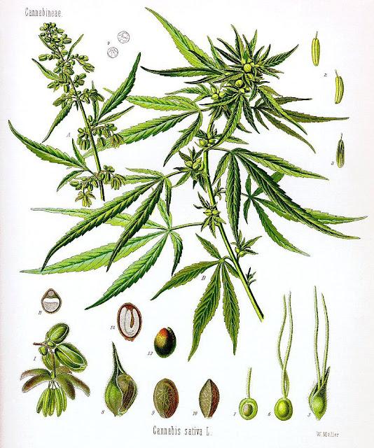 Gai Dầu - Cannabis sativa - Nguyên liệu làm thuốc Có Chất Độc