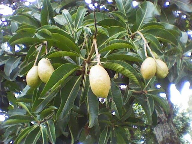 Mengenal Pohon Binjai