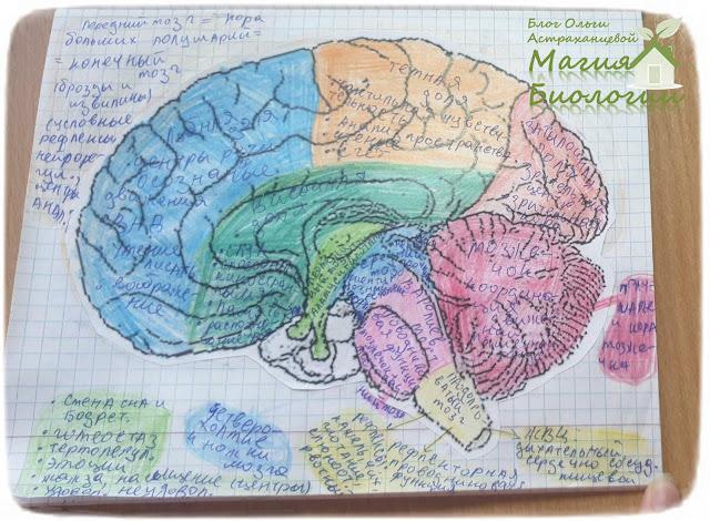 -магия-биологии-раскраска-мозг-рисовальная шпаргалка
