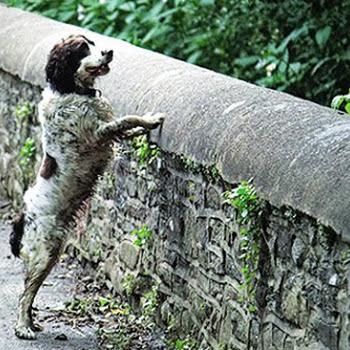 Μυστήριο! Γιατί έκαναν βουτιές θανάτου 560 σκύλοι από τη γέφυρα;