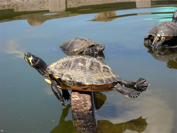 Kaplumbağa - K Harfi ile Hayvan İsimleri