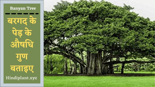 बरगद के पेड़ के औषधि गुण और उपयोग।