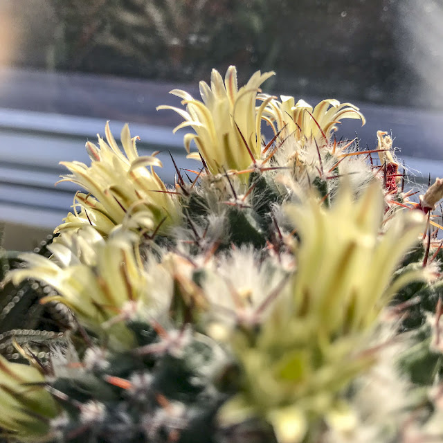 kaktus, cactus