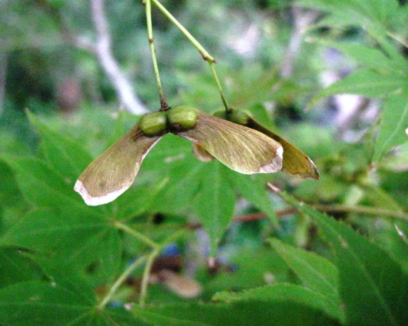 Bonsai Beginnings: Time to collect Japanese Maple Seed