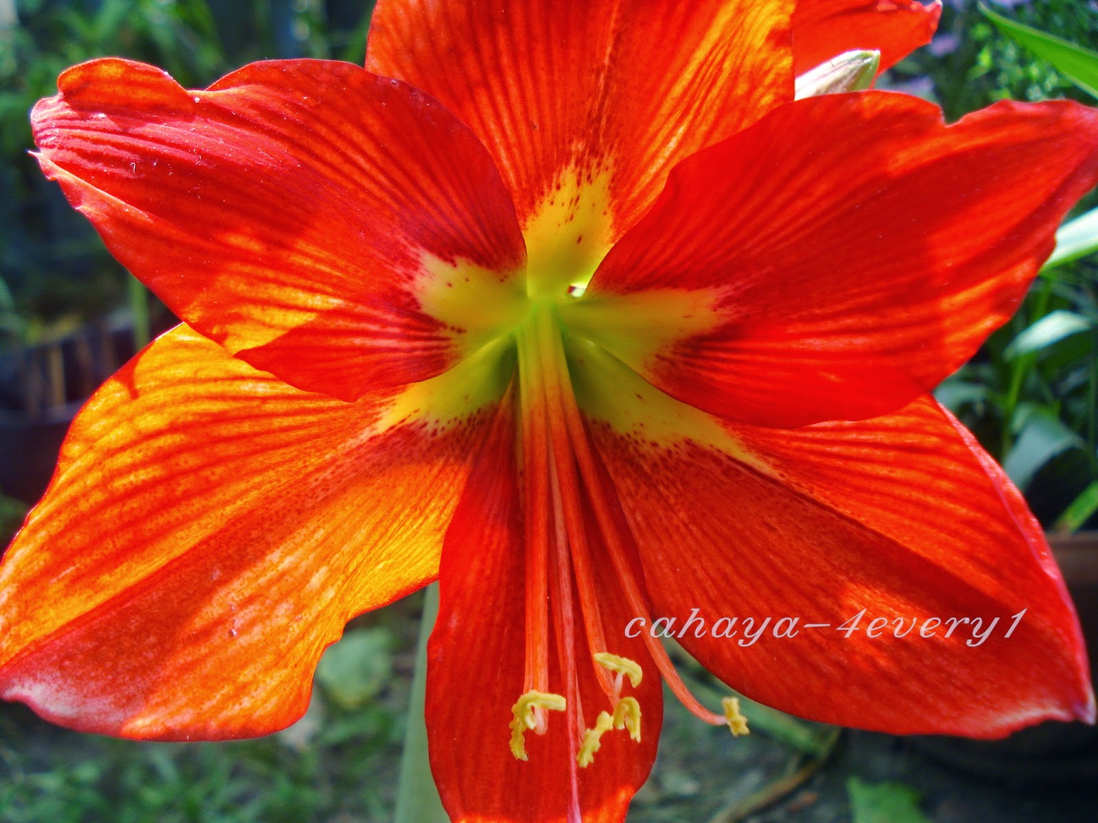 Red orange amarylis flower in bloom