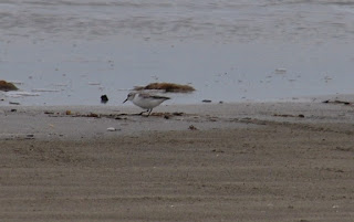 a small brown and white shorebird