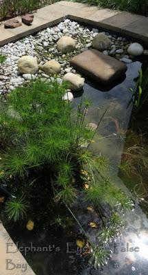 Froggy Pond Cyperus