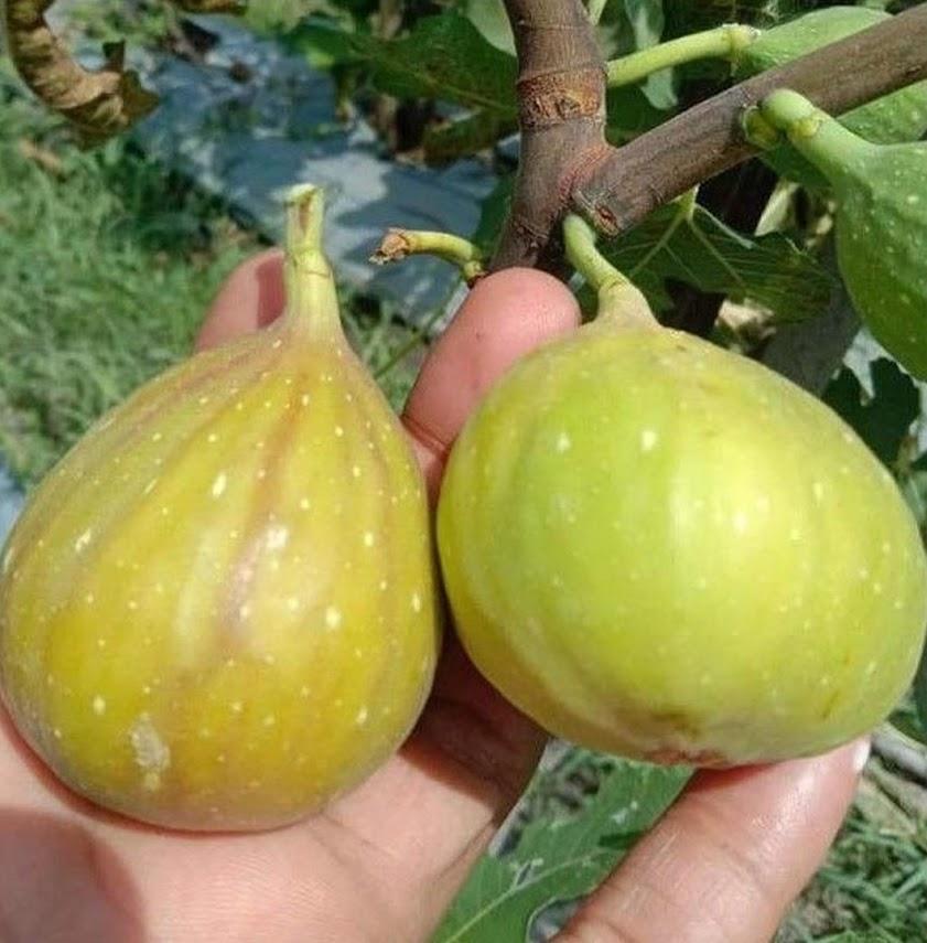 Bibit buah tin Jumbo LDA fresh cangkok bibit pohon tin Longue D Aout Link