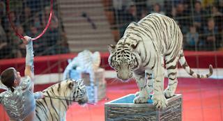 Φριχτός θάνατος θηριοδαμαστή, τον κατασπάραξαν οι τίγρεις που εκπαίδευε