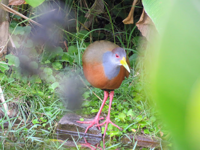 Costa Rica Birds: Rufous-naped wood rail