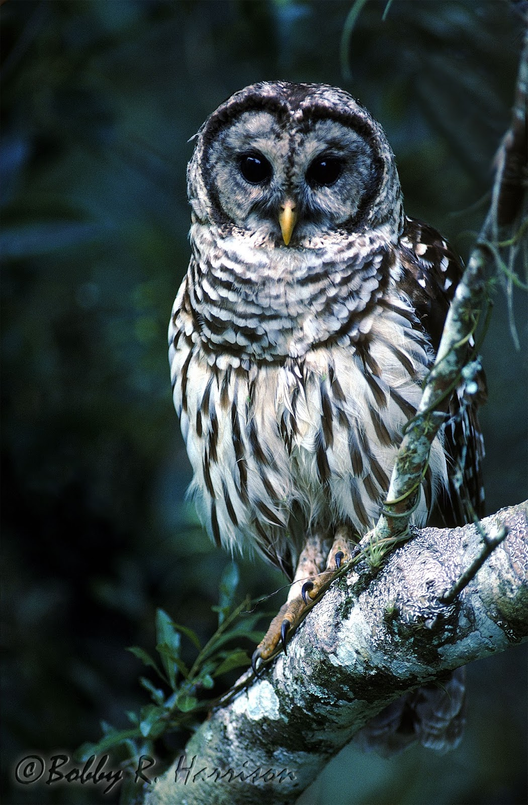 Barred Owl | Audubon Field Guide