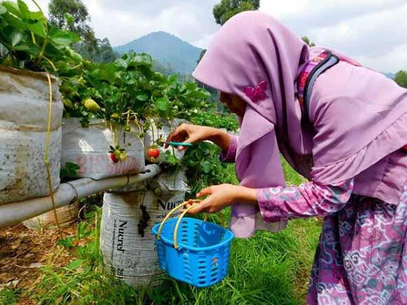 Wisata Kebun Strawberry Ciwidey Yang Sayang Jika Dilewatkan