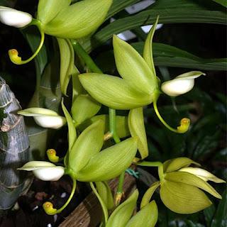 Gambar Bunga Anggrek Tercantik di Dunia 11