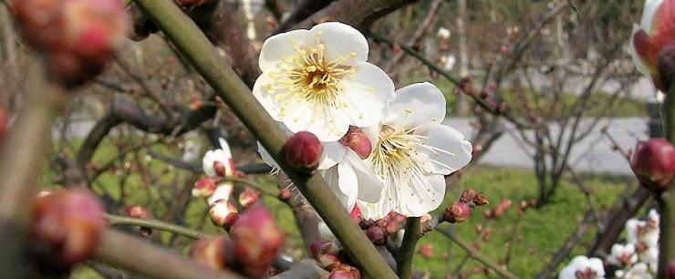 上海の公園に咲く白梅