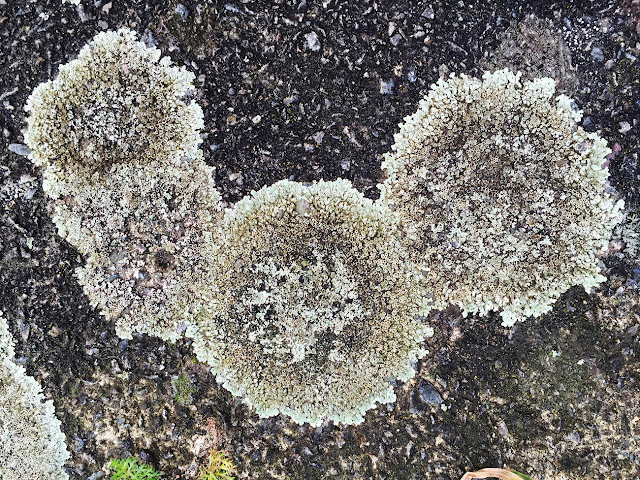 Lecanora muralis,  pavement of Mead Way, Hayes, 29 January 2016.