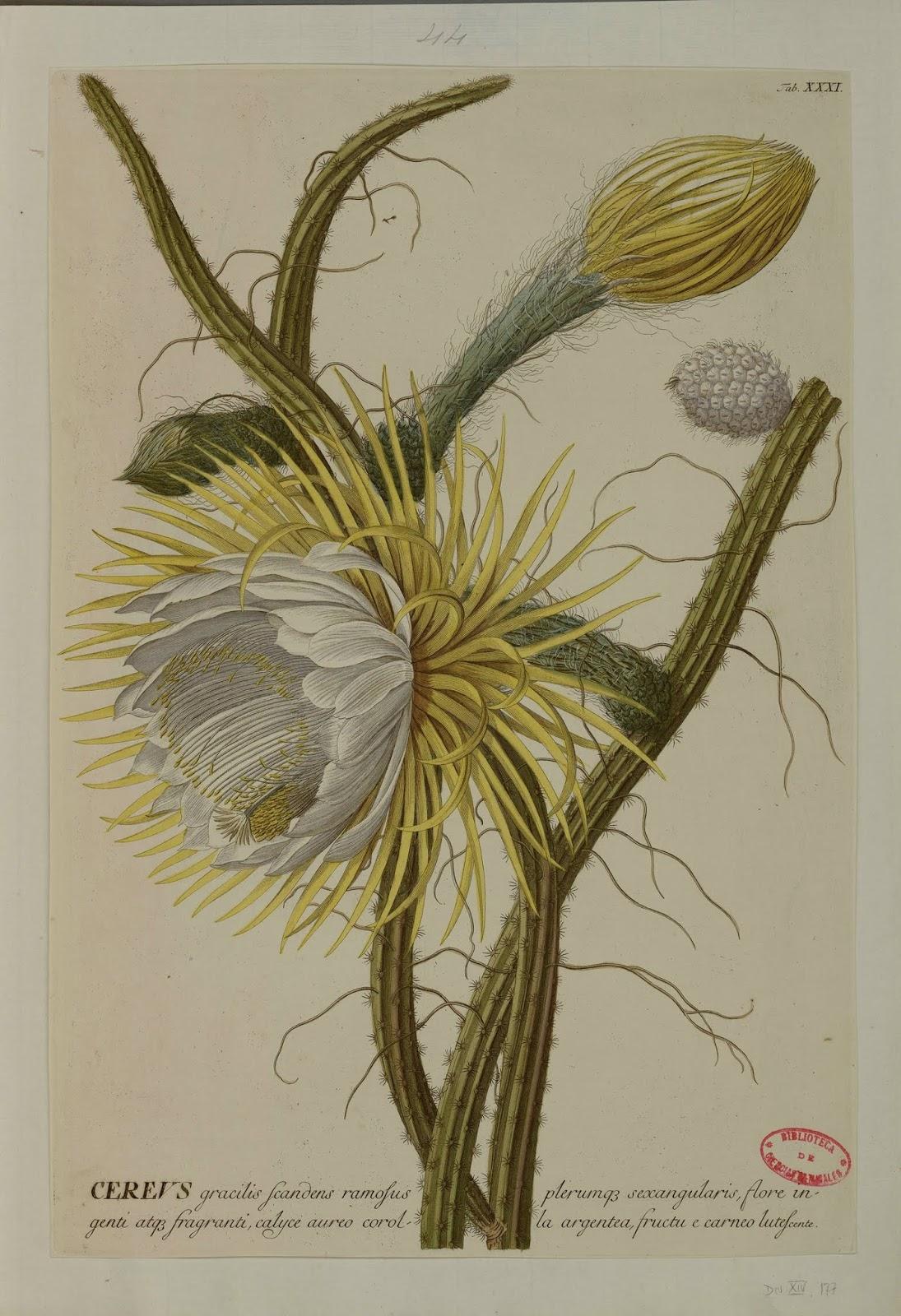 Ilustracion botánica de Flor de cactus