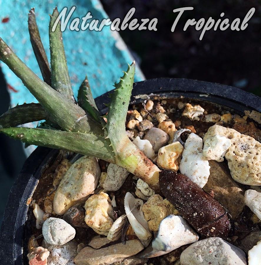 Babosa alimentándose del tallo de Aloe juvenna