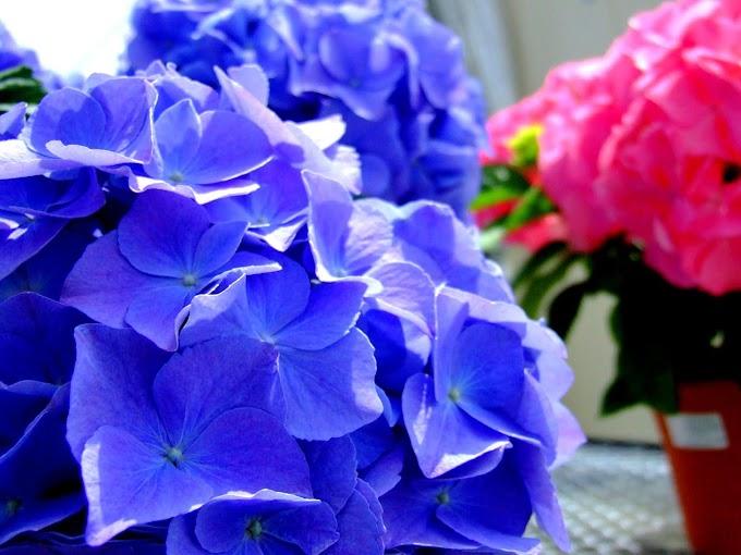 046  #アジサイ #花 #紫陽花