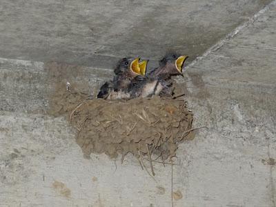 巣の中で元気に伸び上がって餌を催促するツバメの雛