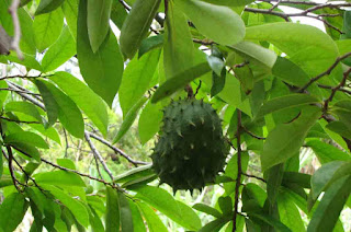 Another Effects of water decoction of soursop leaf