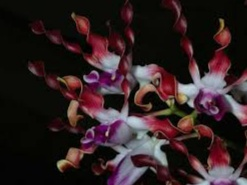 Anggrek karawai (dendrobium lasianthera)