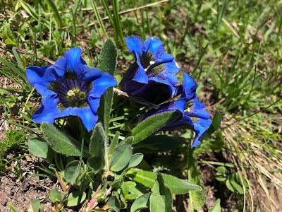 [Gentianaceae] Gentiana acaulis – Stemless Gentian (Genziana acaule), based on green inside of flower.