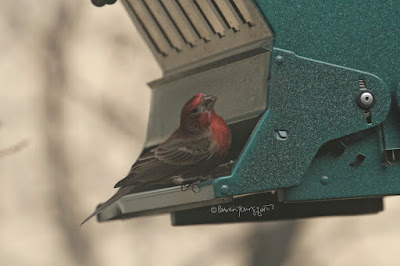 "This image features a male House finch perched on the left side of a bird feeder that is shaped like house. The feeder is made of metal and is hunter-green in color. House finches are featured in volume one of my book series, ""Words In Our Beak.""  Info re these books is in another post on my blog @ https://www.thelastleafgardener.com/2018/10/one-sheet-book-series-info.html"