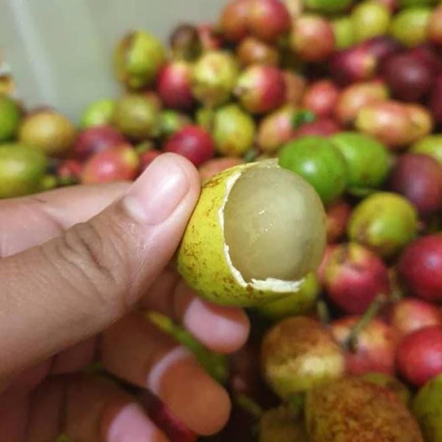 Bibit buah matoa merah super Banjar