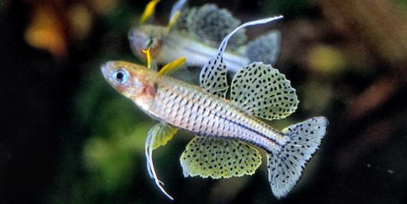 Budidaya Ikan Hias Art