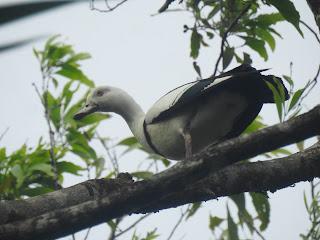 9 Spesies Burung di Suaka Margasatwa Pulau Komolom, Papua