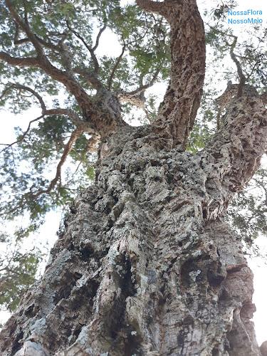 Foto do tronco suberoso do angico rajado