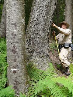 Bob Leverett Measuring an Old Black (Sweet) Birch