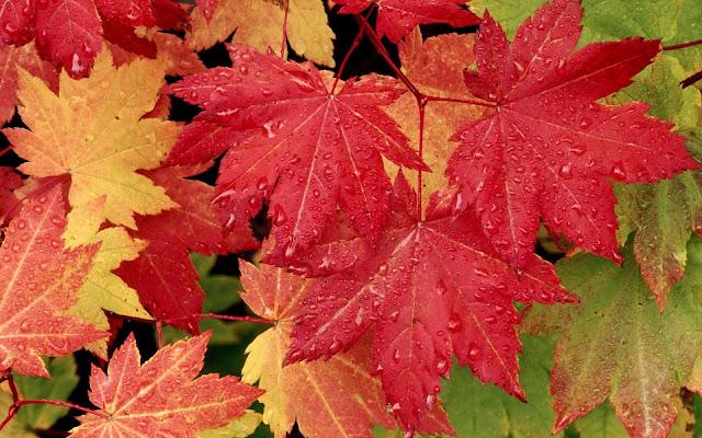 Foto van rode herfstbladeren