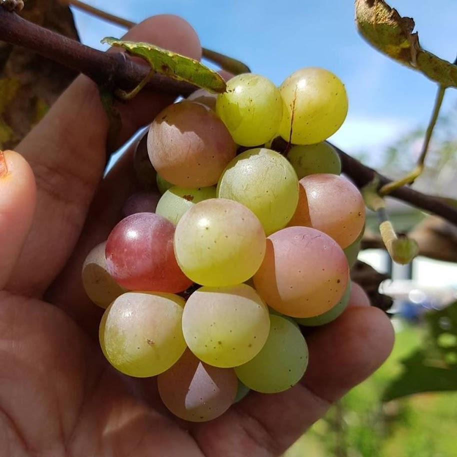 bibit anggur import hitam cepat berbuah Sumatra Barat