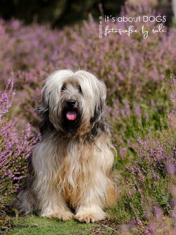 Tibet Terrier Chiru in der  Heide in Haltern