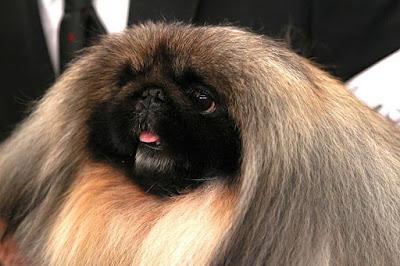 Pekinez köpeği cinsi özellikleri nelerdir ? , Pekinez köpeği bakımı nasıldır ? Pekinez köpeği nasıl beslenir ?