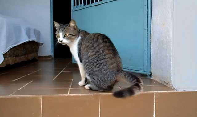 Brazilian Shorthair Cat Breed Information