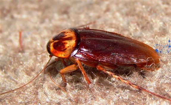 Hamam böceği - H Hayvan İsimleri