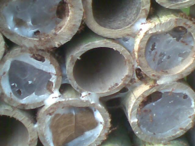 ternak kroto media bambu