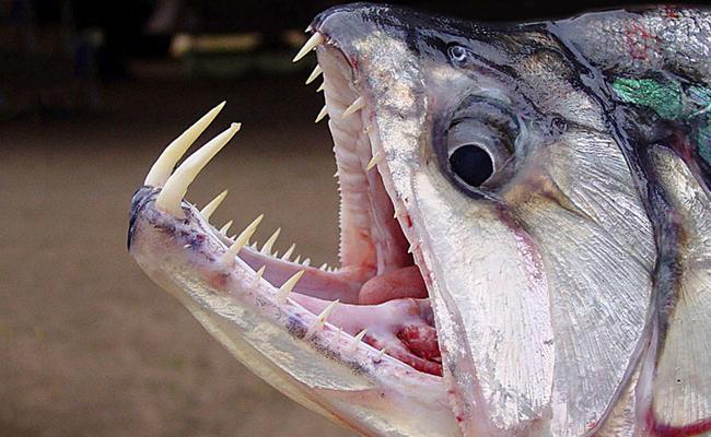 Ikan vampir