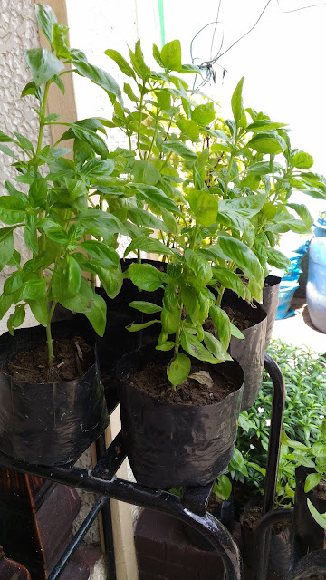 Basil in the Philippines (bloggermother.com)