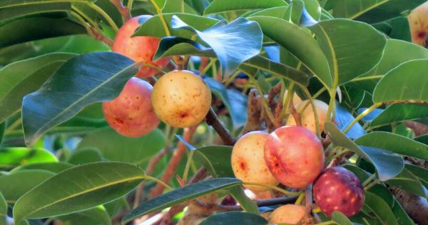 Kresek (Ficus superba)
