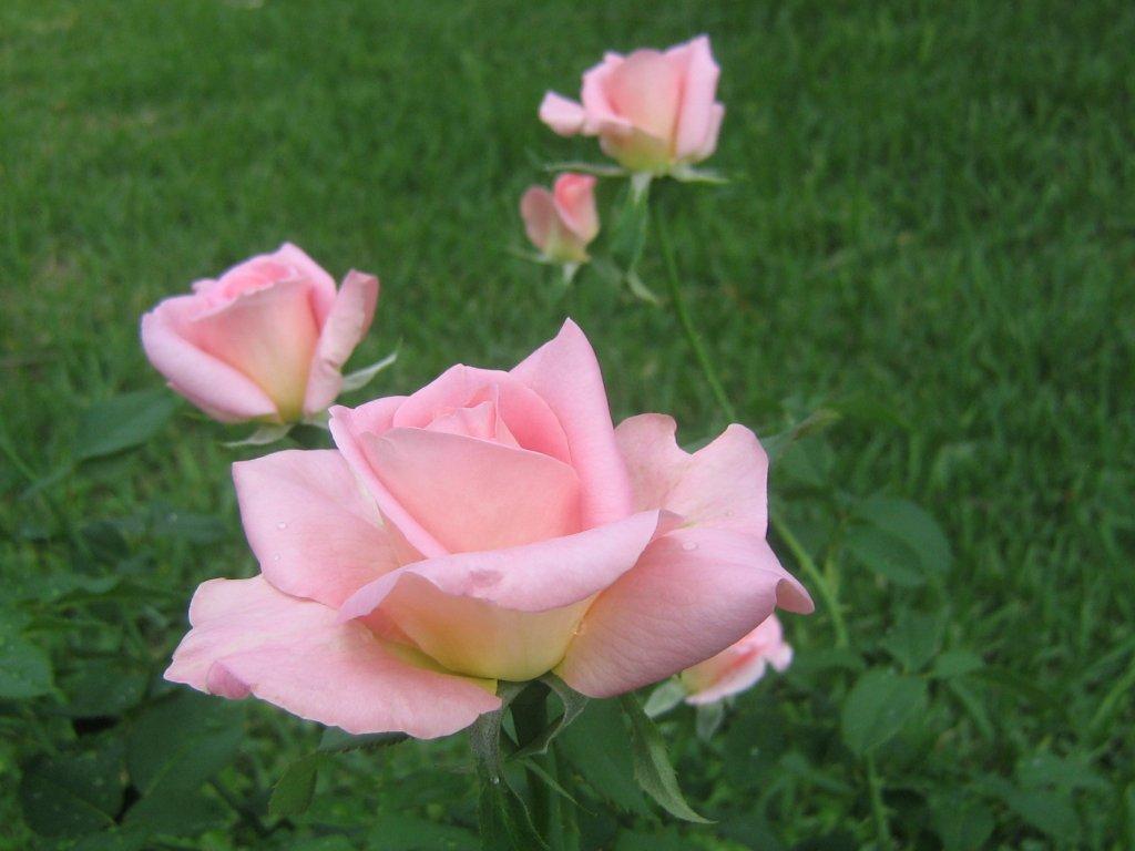 Rose Wallpaper: Pink Rose HD Wallpaper Download Free